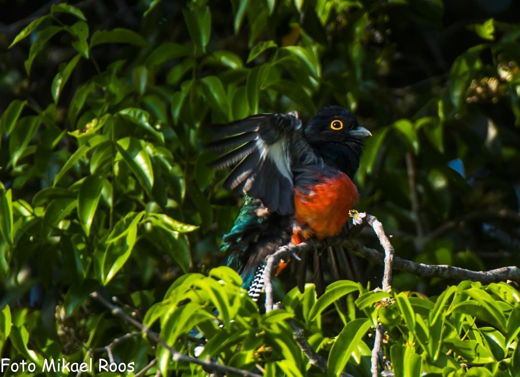 Fåglar finns alltid närvarande skall gå in och skriva artnamn i morgon! Blue crowned trogon