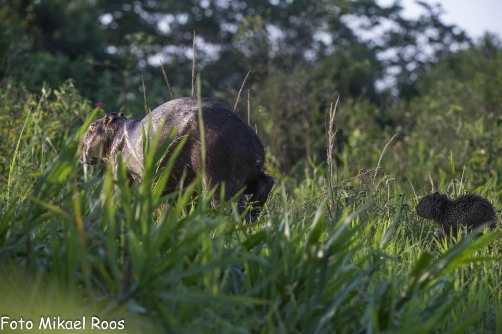 Kapibaran är värdens största gnagare, men inte alltid så lättfotograferad. Och de fins ju över allt efter floden så det skall vara något extra som får oss att sagta och försöka få till en bild