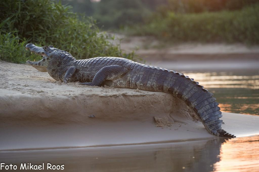 Yacare kajman fins i tusentals i Pantanal Några är stora, men de flesta är små mycket små mycket små...