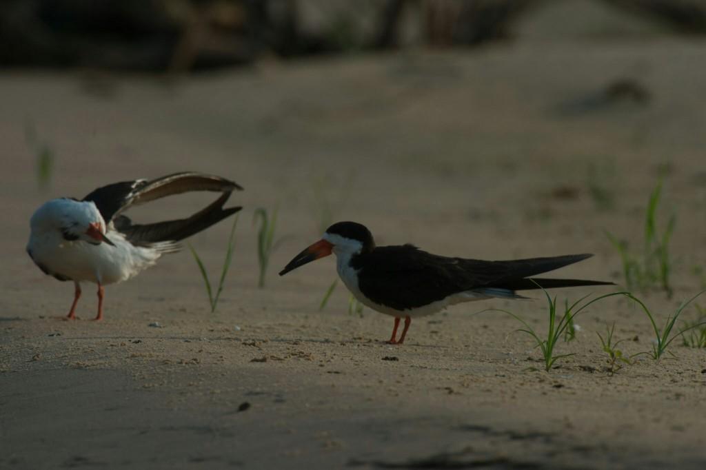 Saxnäbb har lite annorlunda beteende när den flyger i vattenbrynet med sin långa näbb