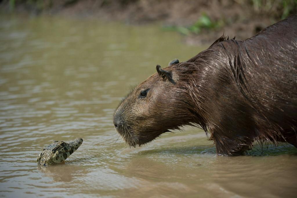 En Liten KAjman och Vuxen Kapibara, Värdens största gnagare